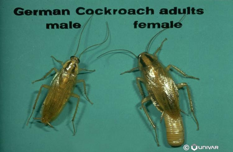 How often do cock roaches multiply