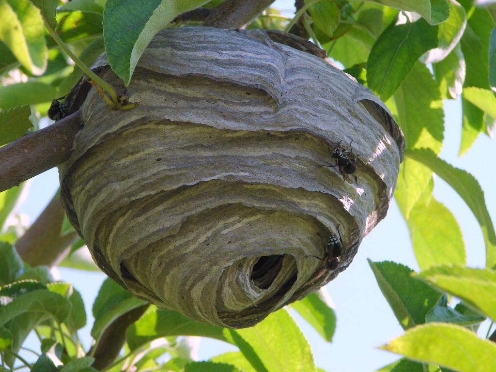 Types of Wasps in Oregon | Bug Zapper Pest Control