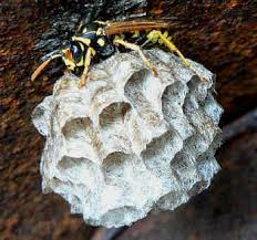 How Do Wasps Find New Homes
