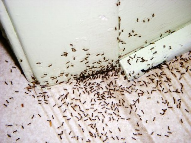 Ants 101 How To Get Rid Of Ants Bug Zapper Pest Control