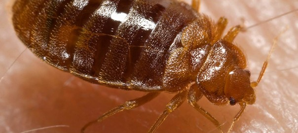 Facts about Bedbugs in Eugene, Oregon