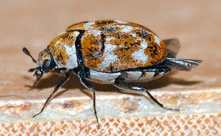 Bed Bugs vs. Carpet Beetles - Know the