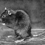 Pacific Northwest Rodents Part 1 – Rats